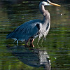 Blue Heron #6376