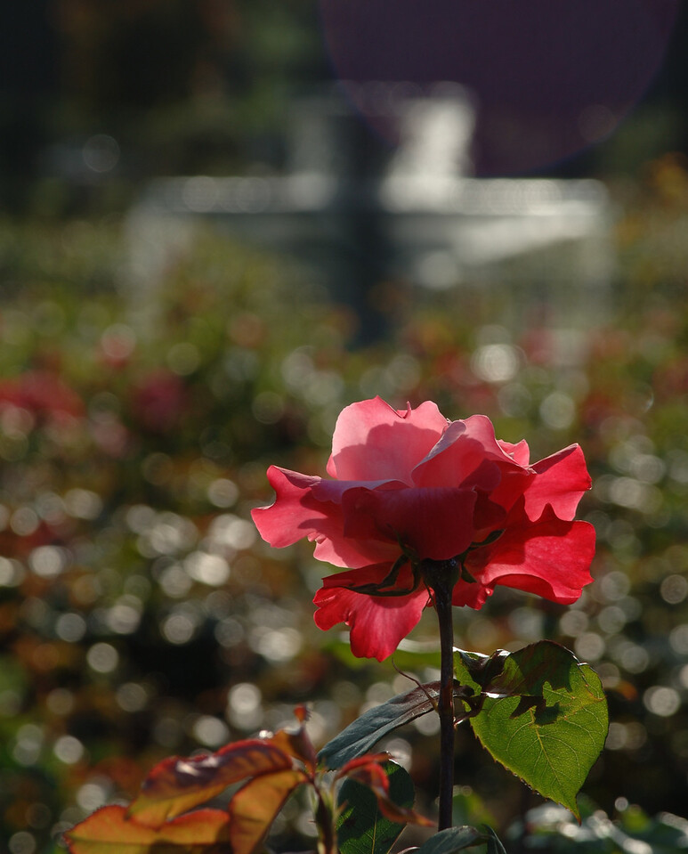 The Rose Garden  San Jose, California