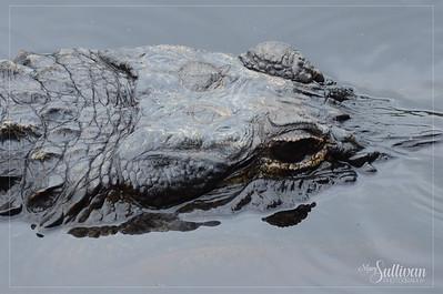 Okefenokee Swamp Gator, Stephen Foster State Park, Georgia