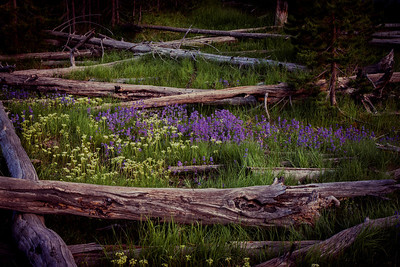 """Lost In The Woods""  Where old trees go to rest. A peaceful place to be in Yellowstone National Park. Surrounded by fallen logs and colorful mountain lupine."