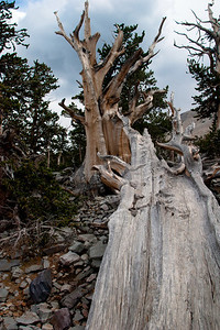 Fallen Bristlecone Pine log, Great Basin NP