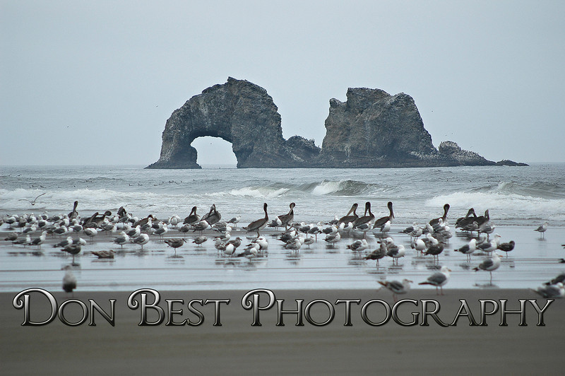Twin Rocks Pelicans #0109