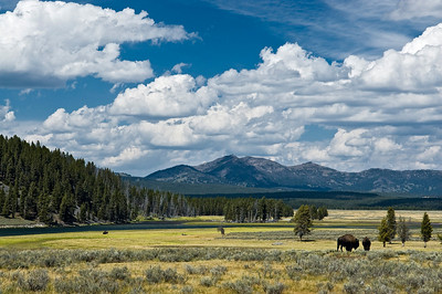 Hayden Valley (Yellowstone) - Where the Buffalo Roam