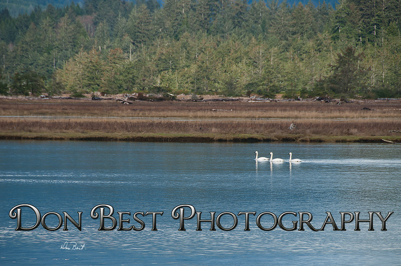 Trumpeter Swans on Nehalem Bay #8108PSN