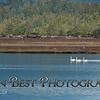 Trumpeter Swans on Nehalem Bay #8108PSN