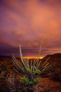 Night Ocotillo