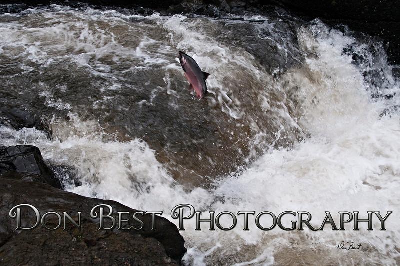 Salmon Jumping Nehalem Falls #7495