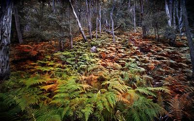 Bush Ferns on the Ruined Castle walking Track, Blue Mountains NSW, Australia