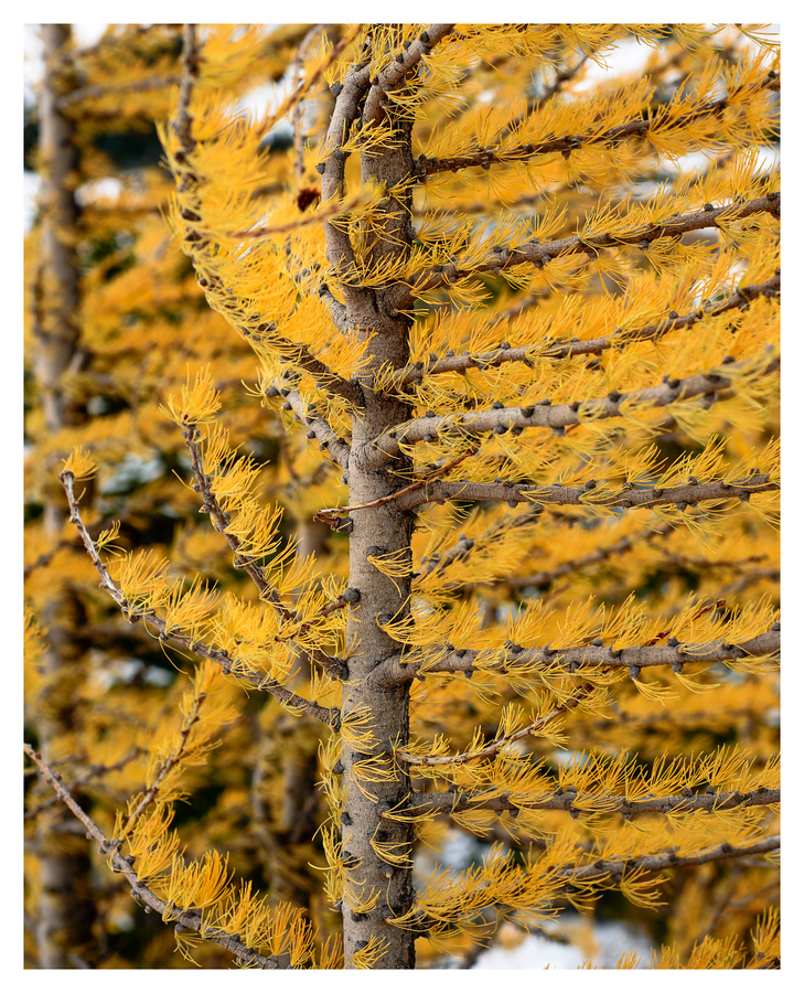 Wind Swept Larch tree