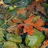Fall Leaves in a pool of water #9015