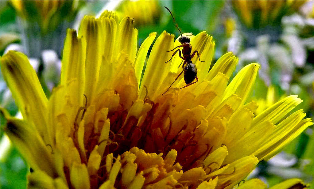 The Dandelion and The Ant