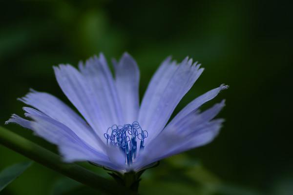 Chicory Flower Stamen
