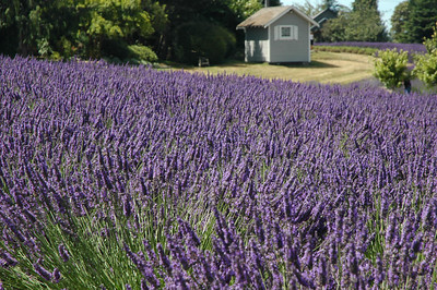 A small shed nested in the background of a lavender garden is surrounded by fields of lavender.