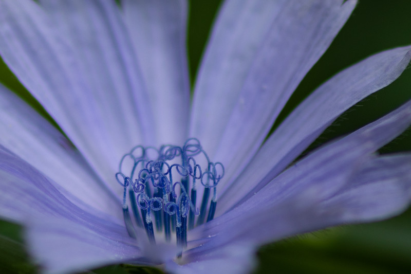 Chicory Flower Stamen Closeup