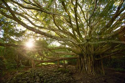 Banyan Tree, Haleakala Park, Maui, Hawaii