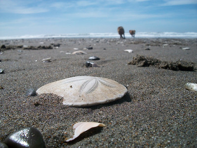 A Sand Dollar & two very happy dogs running on the shoreline @ North Beach, San Fransisco, California.