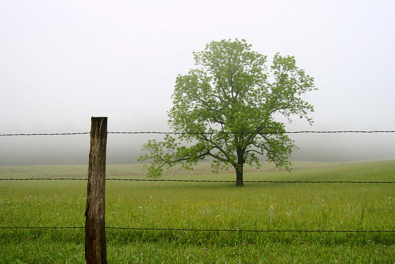 Tree surrounded by fog Cades Cove, Tennessee