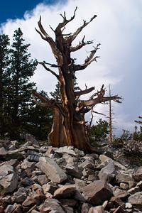 Dead Bristlecone Pine, Great Basin NP