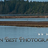 Trumpeter Swans on Nehalem Bay #8098PSN2