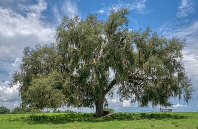 Lone Oak
