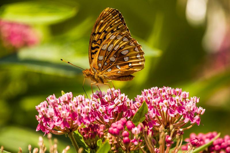 Species: Speyeria serene (Butterfly); location Hebron