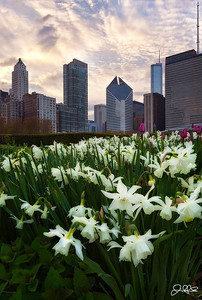 Lurie Garden Daffodils...  White Tiandrus Daffodil flowers are in full bloom in the Millennium park Lurie Garden area. This 5 acre garden oasis is filled with all sorts of beautiful spring flowers right now so if your in the city definitely take a minute to check it out!!! (5/4/2013)