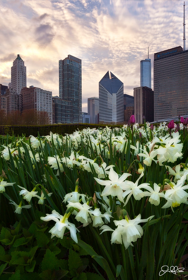 Lurie Garden Daffodils...<br /> <br /> White Tiandrus Daffodil flowers are in full bloom in the Millennium park Lurie Garden area. This 5 acre garden oasis is filled with all sorts of beautiful spring flowers right now so if your in the city definitely take a minute to check it out!!! (5/4/2013)