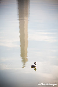 Duck on the Pond - Reflection of Washington Monument.