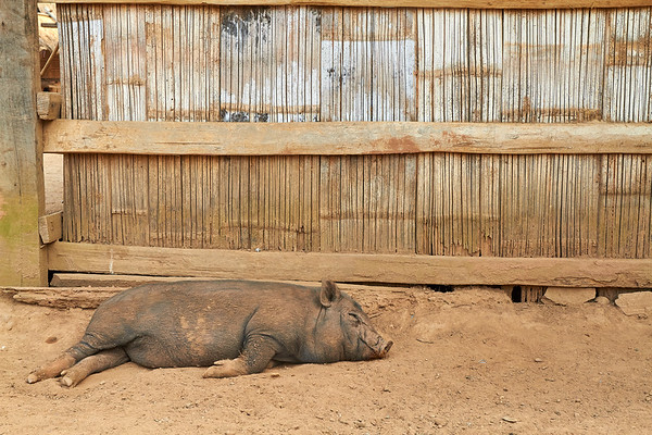 Big pig sleeping on dirt in Laos