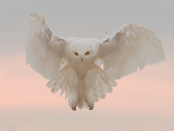 Snowy Owl on the Hunt