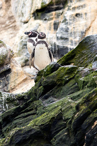 Chilean National Humbolt Penguin Reserve - Humbolt Penguins #2
