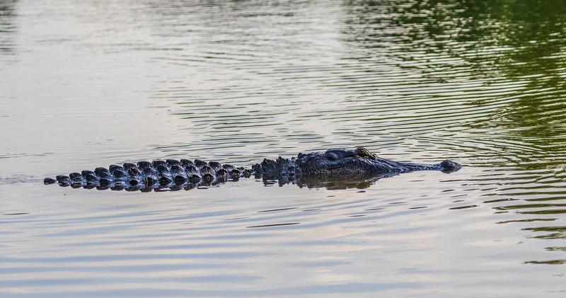 American Alligator in Armand Bayou in Pasadena Texas.