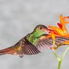 Roufus-tailed Hummingbird, Amazilia tzacatl, at Tandayapa Lodge in Ecuador.