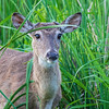 White-tailed deer in marshy area along Armand Bayou in Pasadena Texas