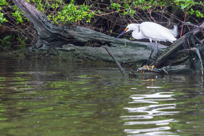 Snowy Egret in breeding plumage on Armand Bayou in Pasadena Texas.