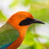 Rufous Motmot, Baryphthengus martii, in at Tinalandia Lodge in Ecuador.