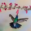 Broad-billed Hummingbird, Cynanthus latirostris, feeding on nectar flowers.