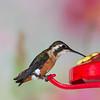White-bellied Woodstar hummingbird, Chaetocerus mulsant, at Guango Lodge in Ecuador