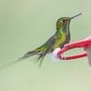 Booted Racket-tail hummingbird, Ocreatus underwoodii, Found at Bellavista Cloud Forest Reserve in Ecuador