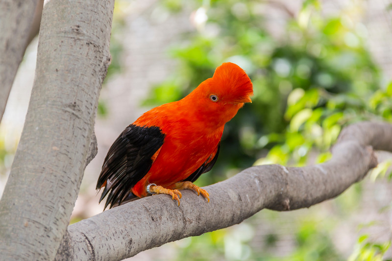Andean Cock of the Rock at the San Diego Zoo.