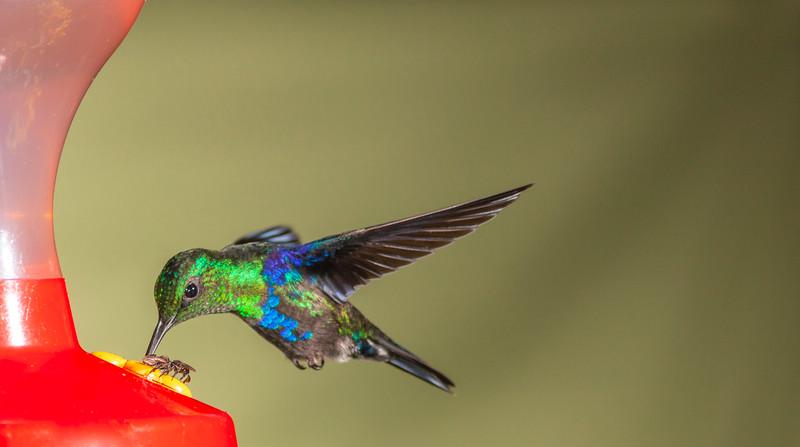 Green-crowned Woodnymph hummingbird, Thalurania fannyi, at Tinalandia Lodge in Ecuador.