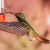 Roufus-tailed Hummingbird, Amazilia tzacatl, at Tandayapa Lodge in Ecuador.