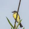 Tropical Kingbird, Tyrannus melancholicus, in Ecuador