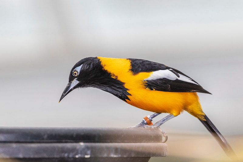 Venezuelan troupial bird in rainforest pyramid in Moody Gardens in Galveston, Texas.