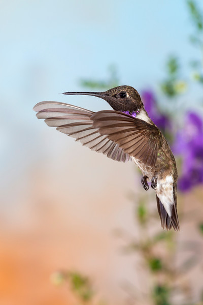 Black-chinned Hummingbird, Archilochus alexandri, in flight in search of nectar flowers.