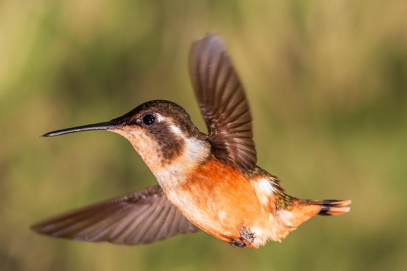 Purple-throated Woodstar hummingbird, Calliphlox mitchellii, at Tandayapa Lodge in Ecuador.