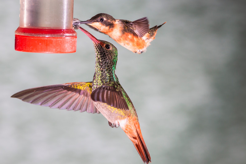 Purple-throated Woodstar hummingbird, Calliphlox mitchellii, and Rufous-tailed Hummingbird, Amazilia tzacatl, at Tandayapa Lodge in Ecuador.