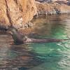 Giant RIver Otter at Moody Gardens in Galveston.