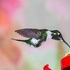 White-bellied Woodstar hummingbird, Chaetocerus mulsant, at Guango Lodge in Ecuador