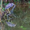 Tricolored Heron on Armand Bayou in Pasadena Texas.